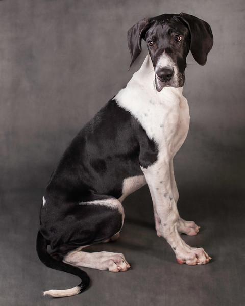 Jude, Great Dane