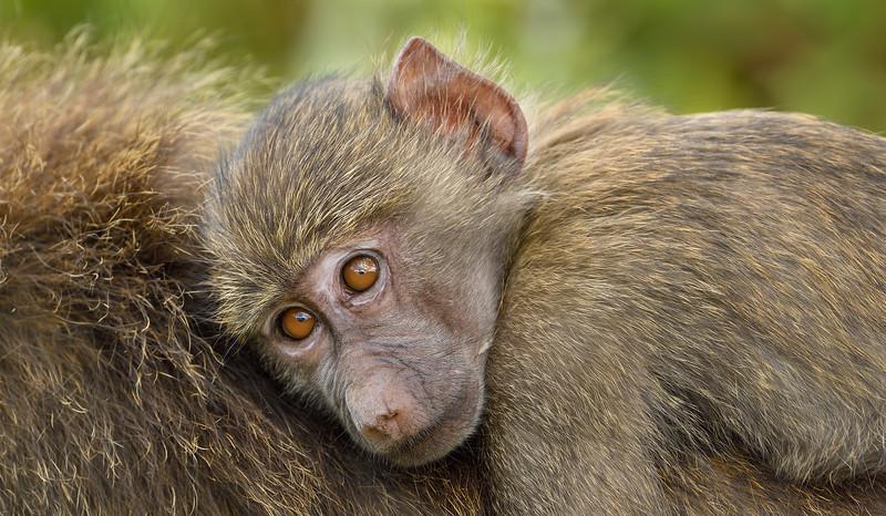 Baboon-kid-safe-on-mother's-back.jpg