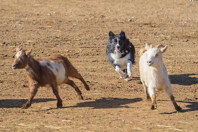 Herding Instinct Testing 2-13-16