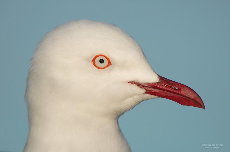 Silver Gull, Bellambi Lagoon, NSW, Aus, Jun 2013-2.jpg
