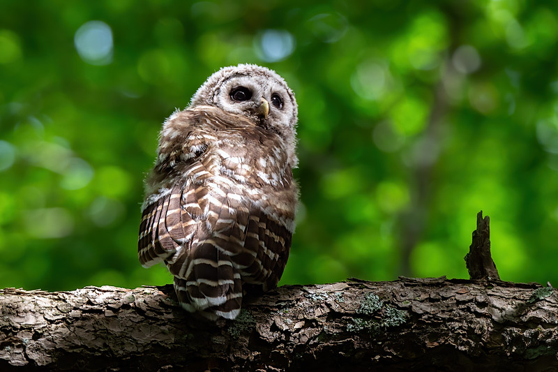 #1251 Barred Owlet