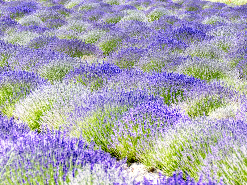 Lavender Patchwork