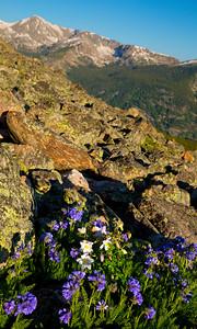 Flowers on Notch Mountain, CO