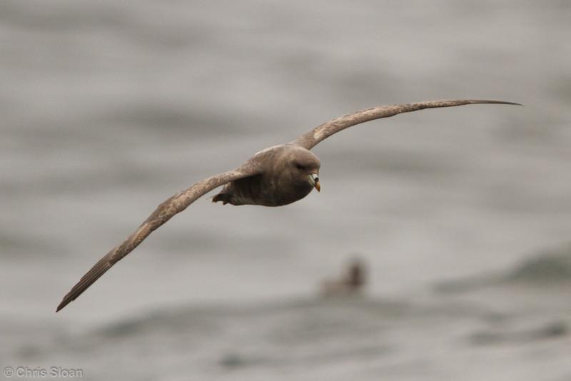 Northern Fulmar at pelagic out of Bodega Bay, CA (10-15-2011) - 689.jpg