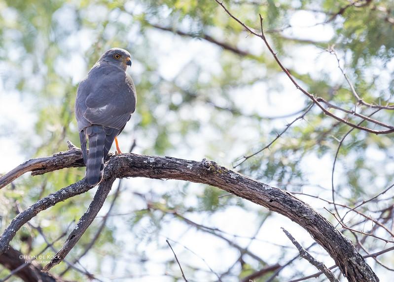 Shikra, Savuti, Chobe NP, Botswana, May 2017-1.jpg
