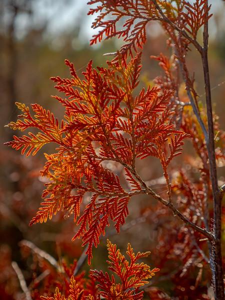 Coniferous Color!