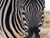 Colour Zebra