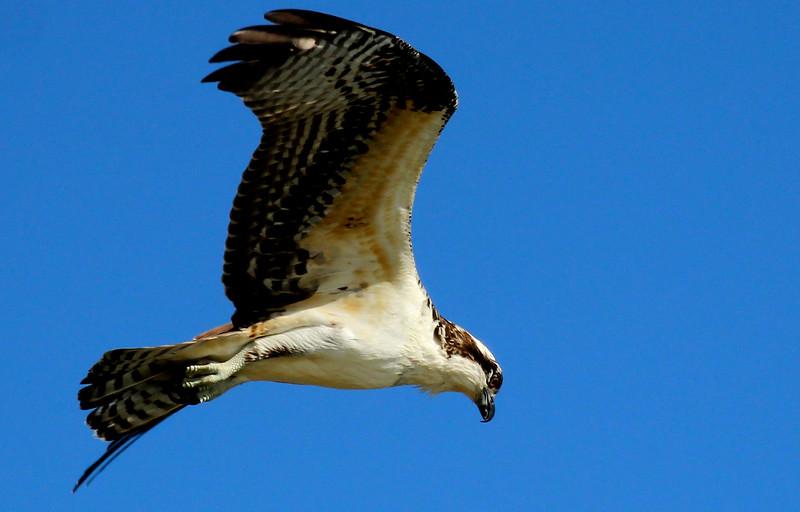 Osprey 10-16-15 Brauning Lake 1510.jpg