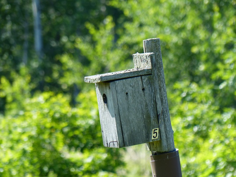 This nesting box was the closest to our trail and was occupied by Tree Swallows. The four boxes with Bluebirds actively nesting were farther from the trail and were best seen with binoculars.