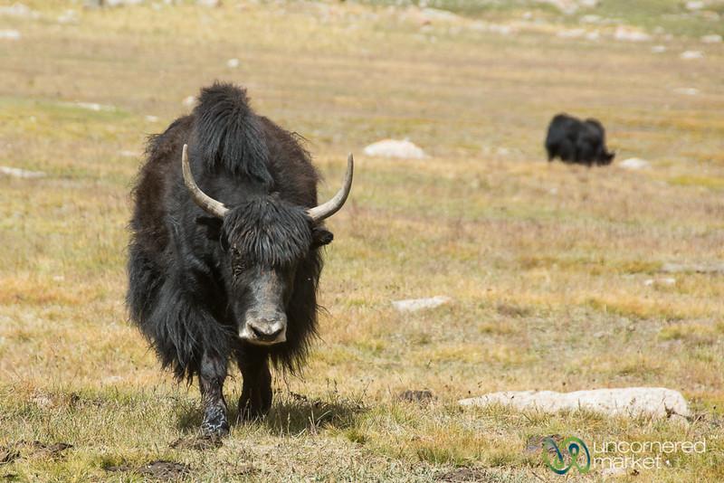 Yaks in Yak Valley - Koshkol Lakes Trek, Alay Mountains of Kyrgyzstan