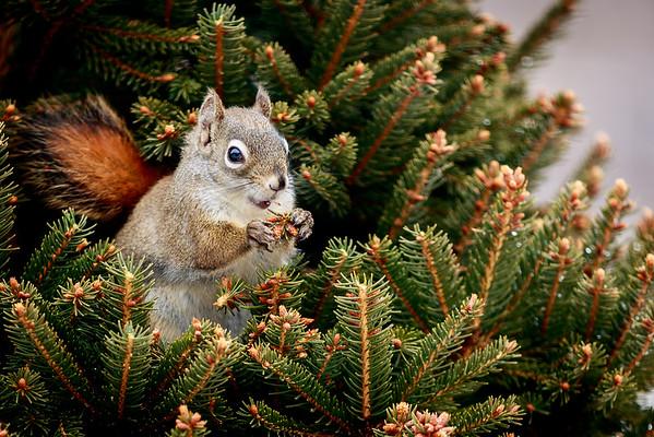 B80411 Squirrel