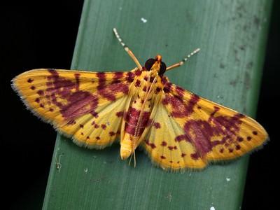 subfamily Pyraustinae