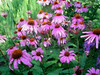 Close view of beautiful garden of purple cone flowers.