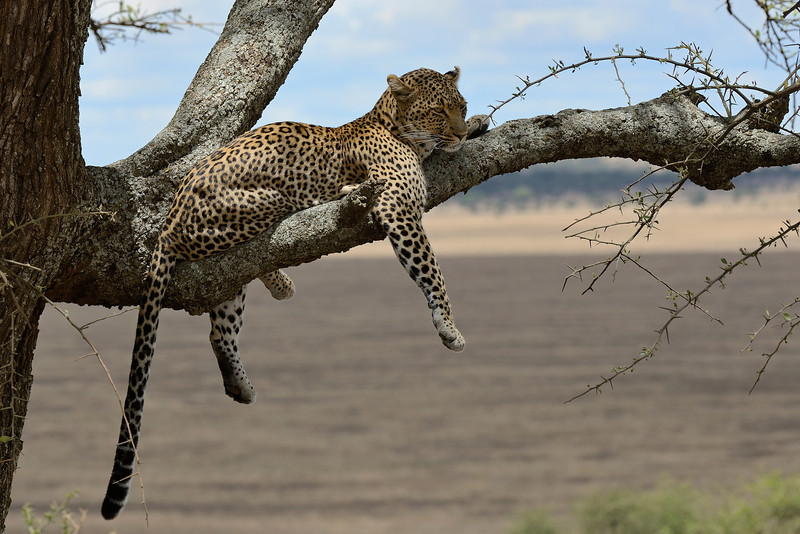Lazying around - African Leopard
