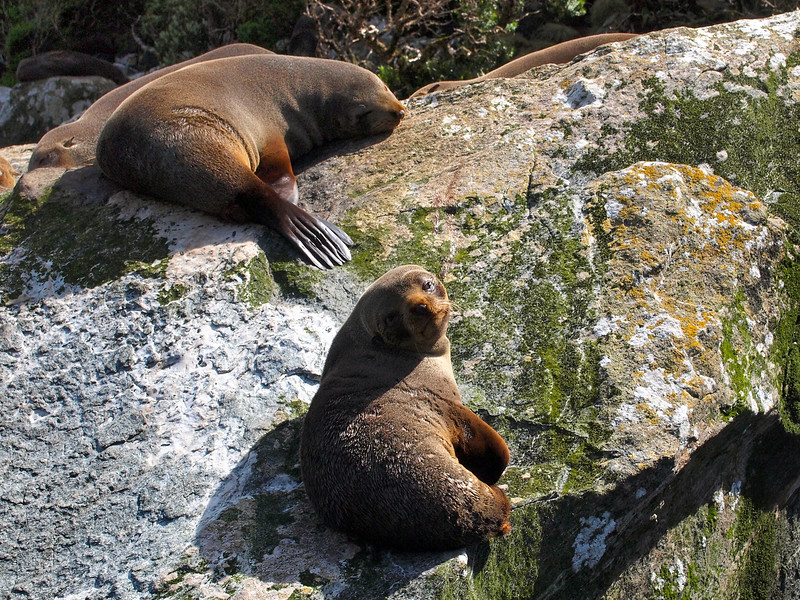 Fur seals at Milford Sound