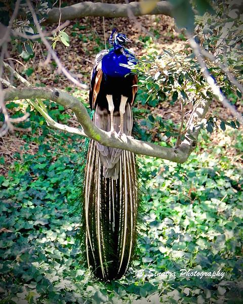 Indian peafowl tree