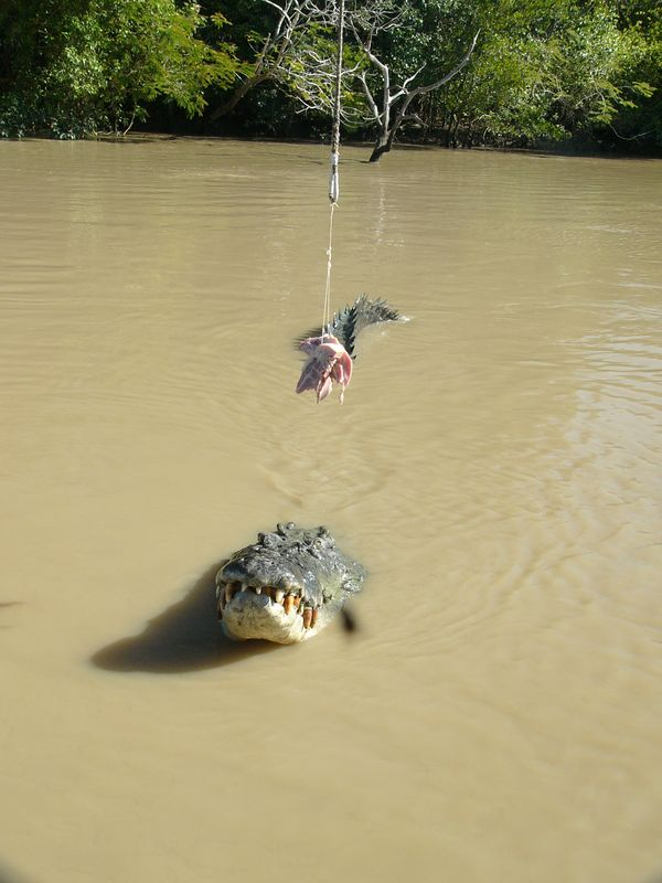 Crocodiles are now a protected species in Australia, and quite a few can be seen during a short river cruise.