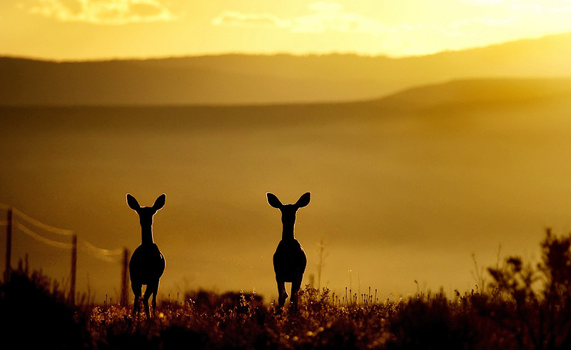 Two Mule deer take a break from their sunrise breakfast foraging on Grass Mesa above Rifle Tuesday morning.