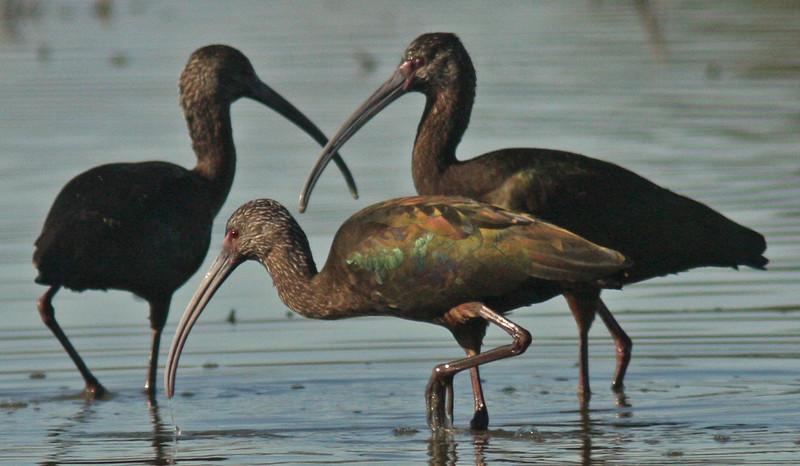 Glossy Ibis, Delavan NWR