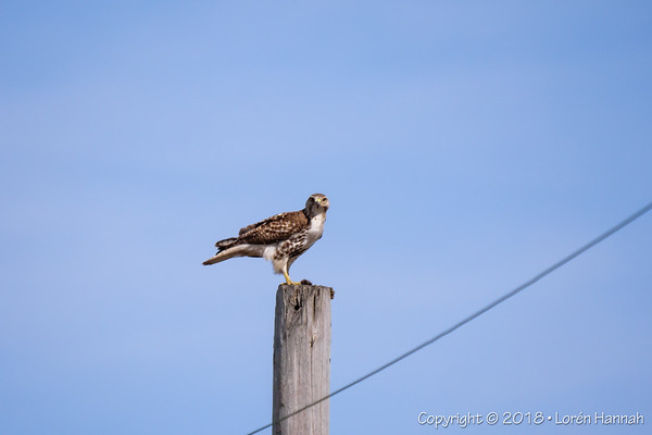 3/25/18 Red-Tailed Hawk with Breakfast - Round Lake, IL