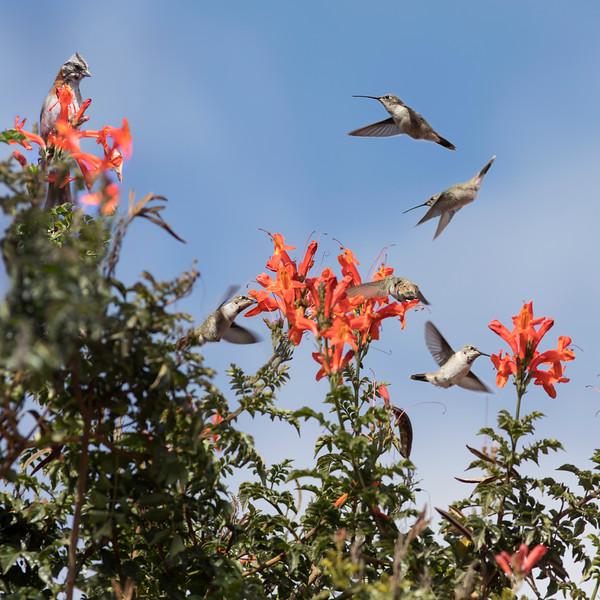 Hummingbird Composite