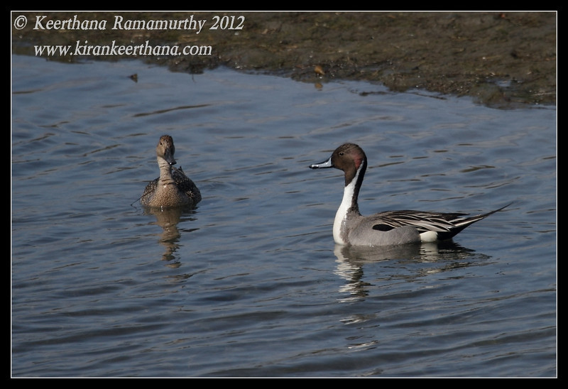 Northern Pintail Duck & Drake, Robb Field, San Diego River, San Diego County, California, February 2012