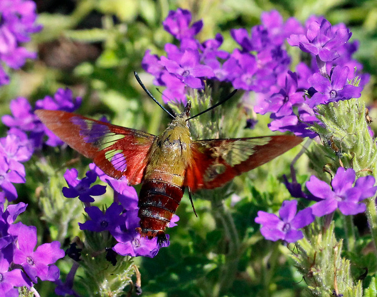 Hummingbird moth 6