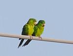 Green Parakeet (Psittacara holochlorus)