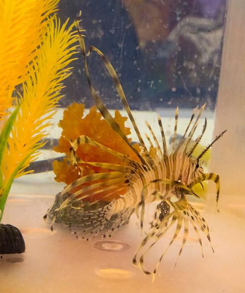 A captive LionFish -- nasty invasive critter.