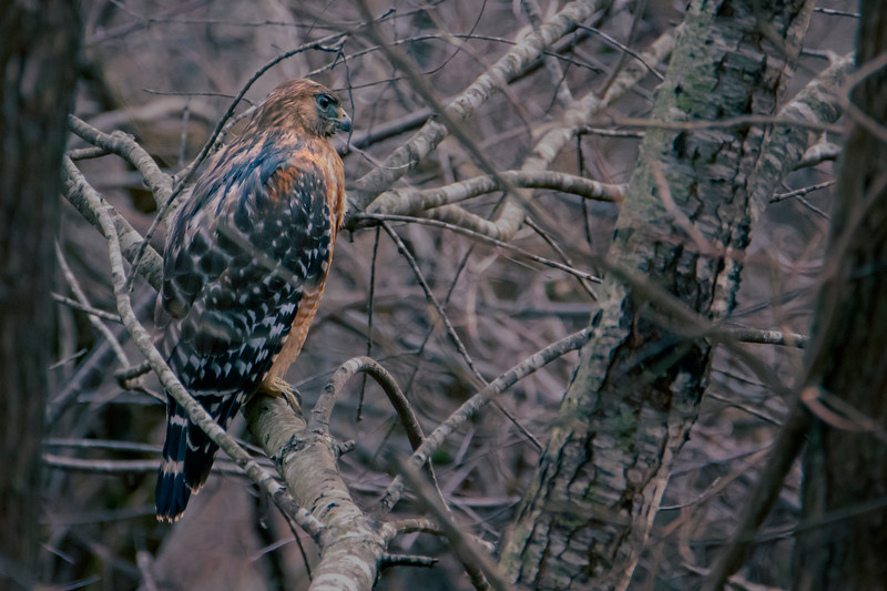 12.27.18 - Prairie Creek Marina: Red-shouldered Hawk