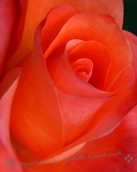 Tangerine Rose.jpg