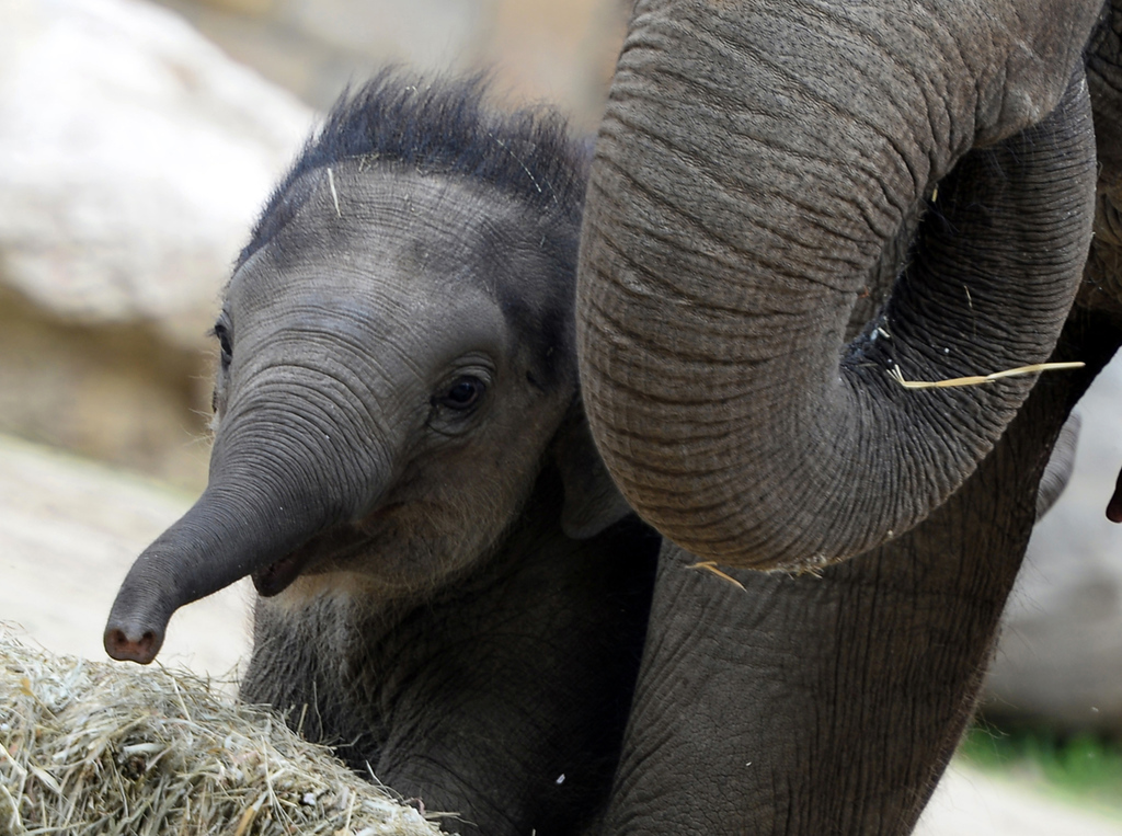 . A 100-day-old baby elephant  at Budapest Zoo and Botanic Garden on May 24, 2013. ATTILA KISBENEDEK/AFP/Getty Images
