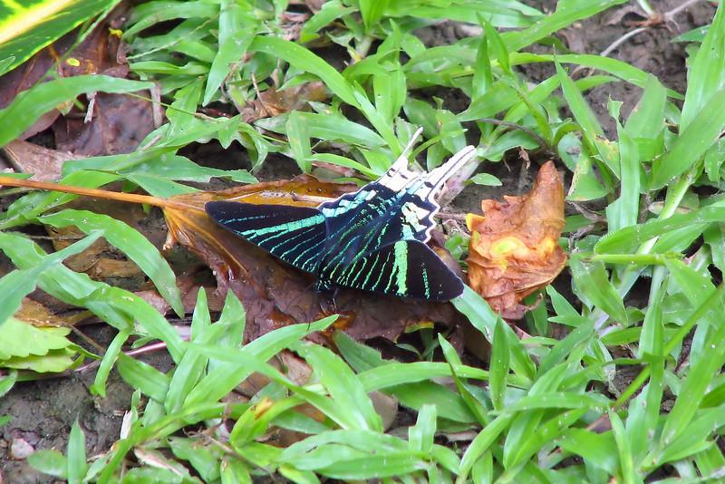 Urania moth at Manu Wildlife Center, Peru (2008-07-10).psd