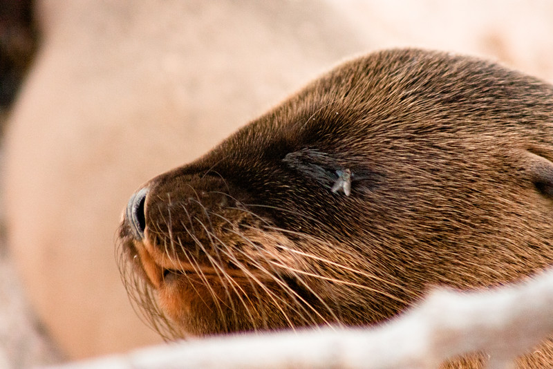 Sea Lion Pup Close Up : Journey into Genovesa Island in the Galapagos Archipelago