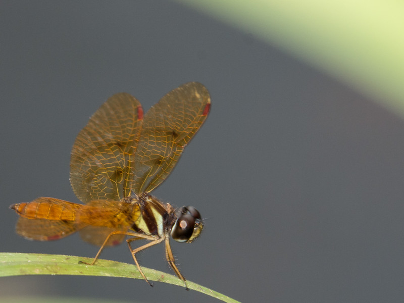 Fine Banded Amber Wing - Perithemis lais (M)