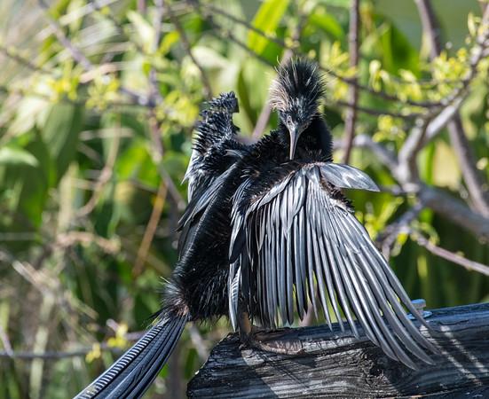 Anhinga preening, Green Cay Wetlands