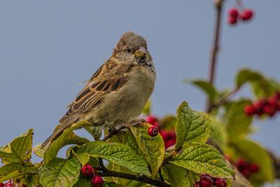 House Sparrow  ~ Gråspurv