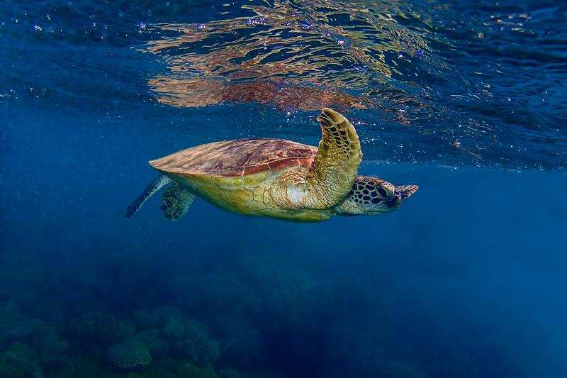 green turtle from below.jpg