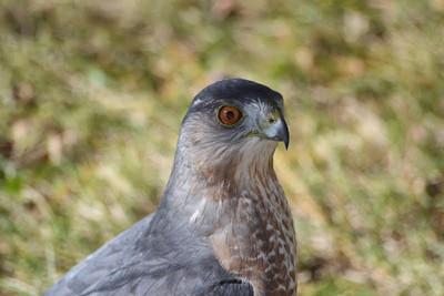 Back Yard Cooper's Hawk