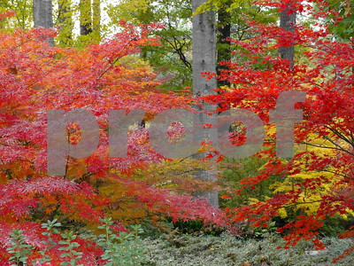 maples-make-their-colorful-fall-presence-known