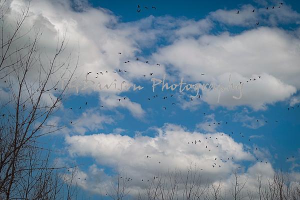 Lake Renwick Heron Rookery 1/2021