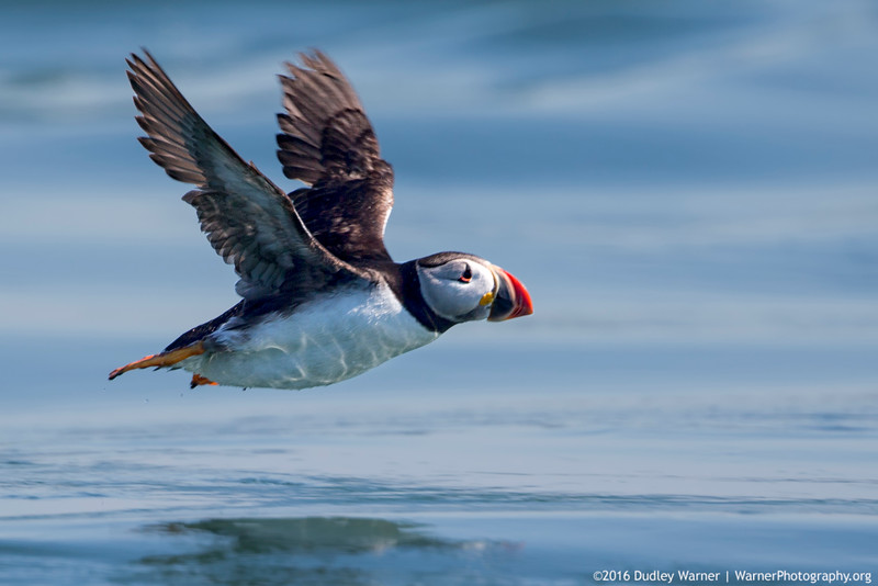 Puffin in Flight-1.jpg