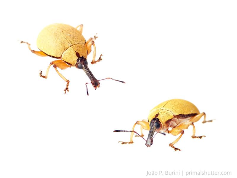 Weevil (Coleoptera: Curculionidae) Sorocaba, SP - Brasil April 2013 Urban