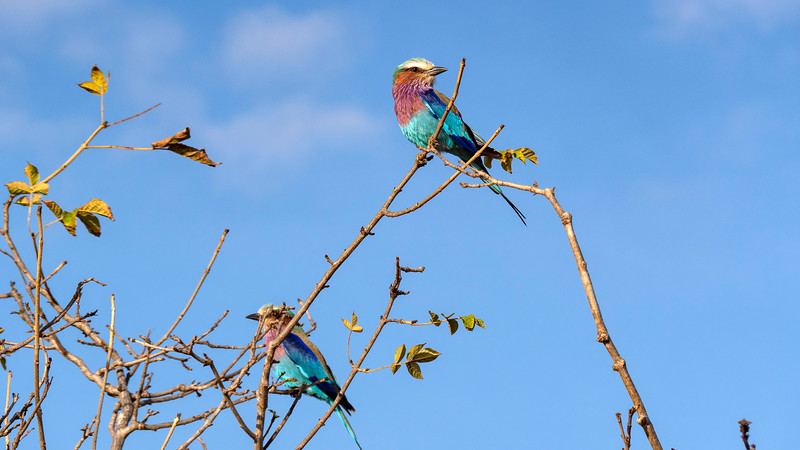 Tanzania-Tarangire-National-Park-Safari-Lilac-Breasted-Roller-03.jpg