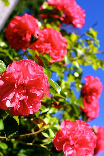 Portland International Rose Test Garden  2226.jpg