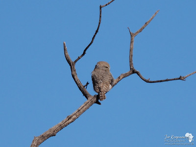 Pearl spotted owlet