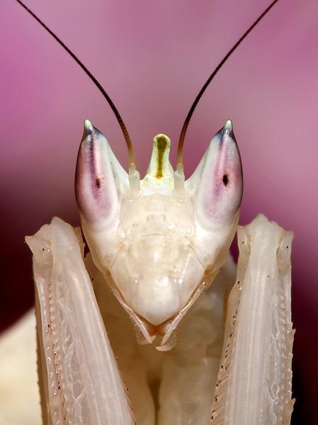 Orchid Mantis Portrait.jpg