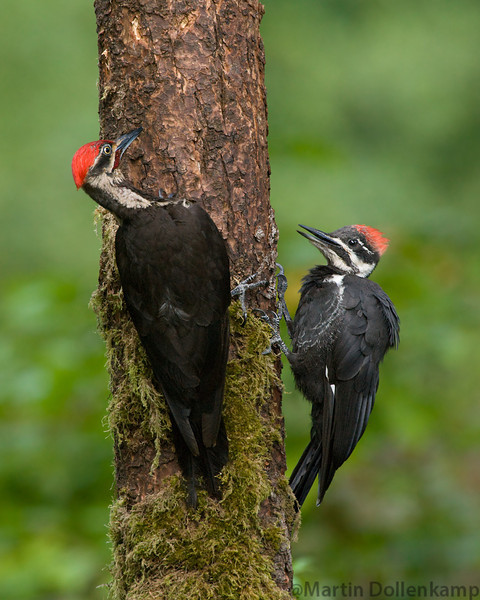 Dad and female fledgling Pileated Woodpecker being fed.