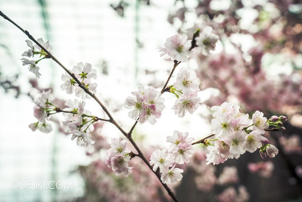 Gardens by the Bay - Sakura Matsuri 2018 floral display - flower field sakura bokeh