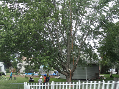 Tree Coming Down 2012